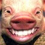 cochon frédopig